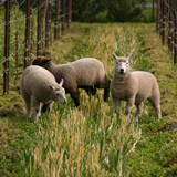 Sheep in the Vineyard