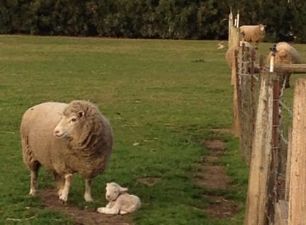 Sheep Newlamb