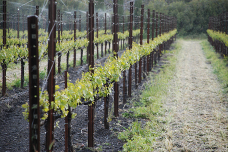 Chardonnay Vineyards Being Protected for Frost